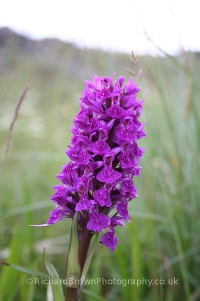 photo of Northern Marsh Orchid