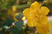One of many beautiful flowers in the gardens of Dunvegan Castle, Hypericum calycinum.